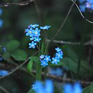 forget-me-nots by dougie1