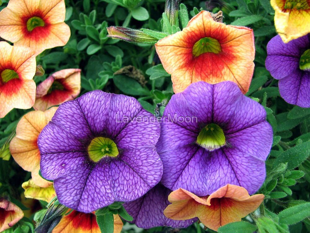Petunia Cluster by LavenderMoon