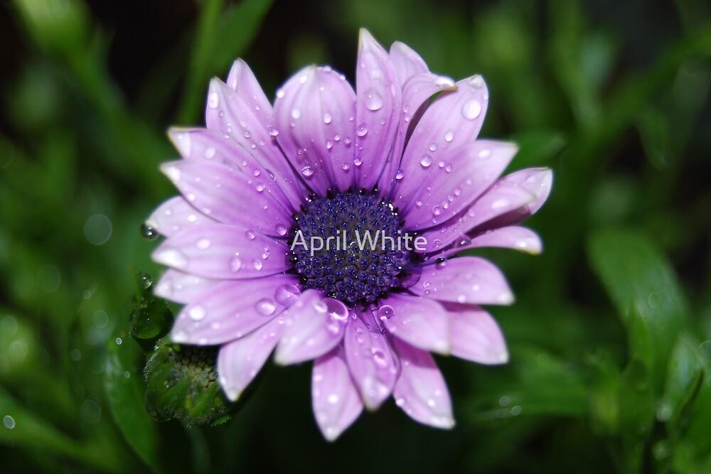 Lavendar Rain by April White