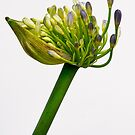 agapanthus in bloom by eddiej