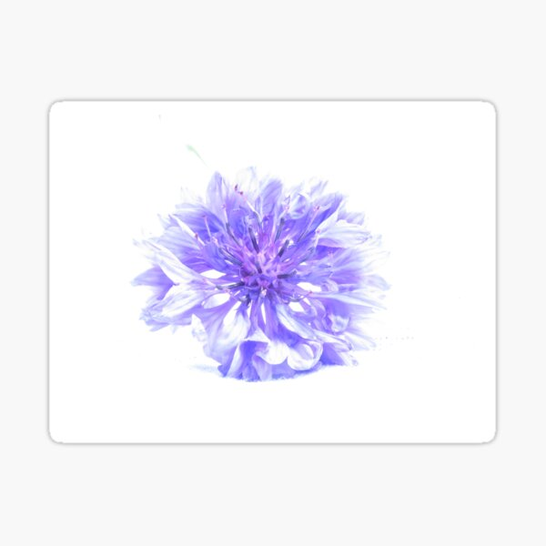 Cornflower - a long look  Sticker