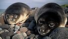 Young Ele Seals by Doug Thost