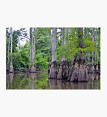 Cypress, Hatchie Wildlife Refuge, Tennessee Photographic Print