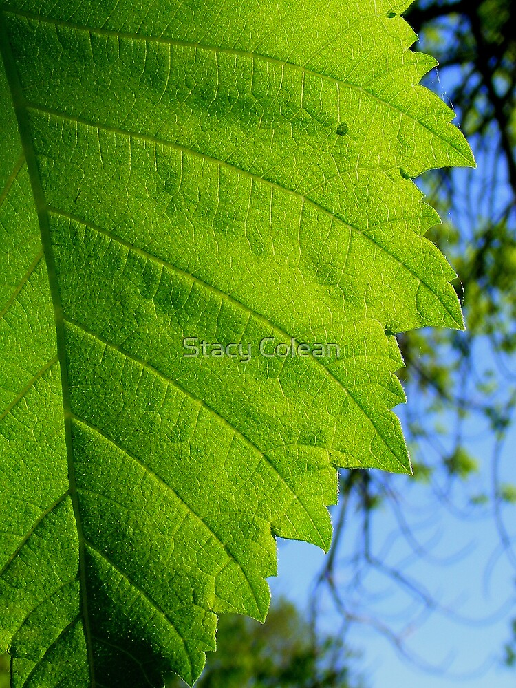 Green Leaf by Stacy Colean