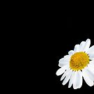 Beautiful daisy flower isolated against black by Arve Bettum