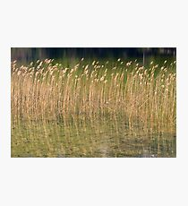 Reed Photographic Print