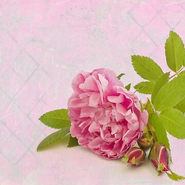 Hansa Rose And Buds  by SandraFoster