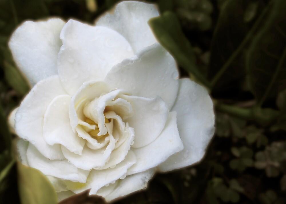 Framed petals by LouieToo