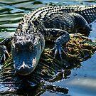 Florida Alligator by bengraham