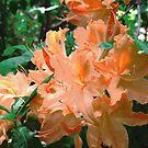 Orange Azaleas by Shulie1