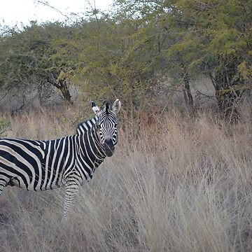 South African Zebra by MesmericSkyline