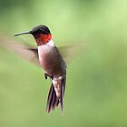 Male Ruby Throated Hummingbird - View Large by barnsis