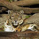 Snow Leopard by Nikki Collier