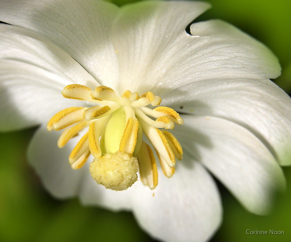 Mayapple Flower by the River by Corinne Noon