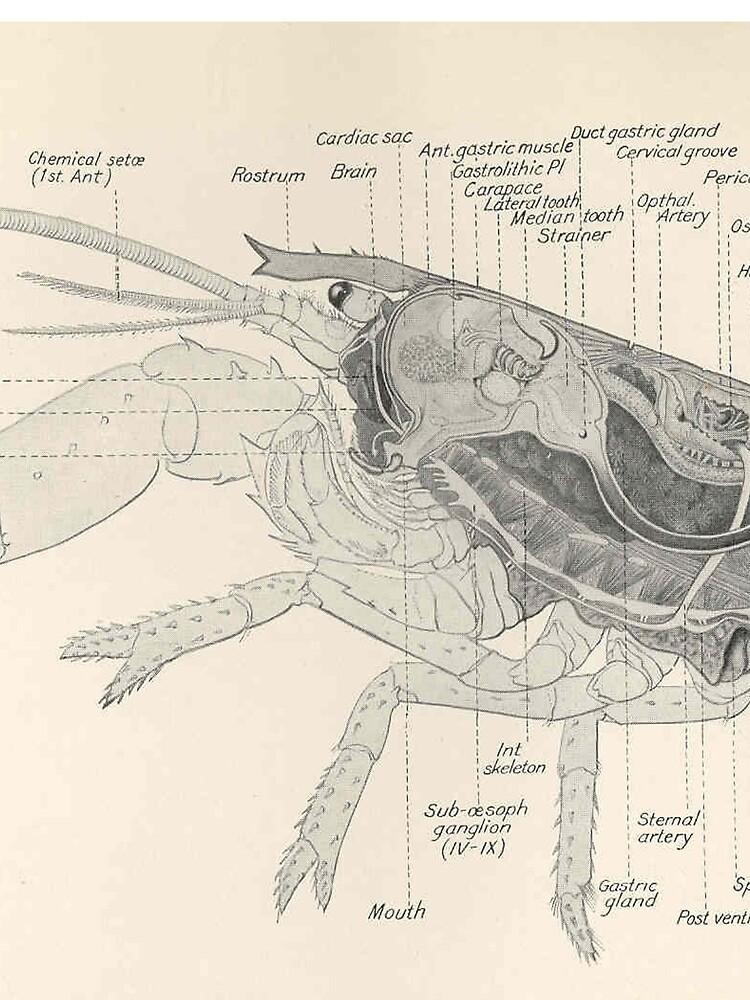 Vintage Lobster Anatomy Diagram (1911)\