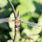 Damaged Dragonfly by Stephen Thomas