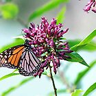 Monarch Butterfly and the Flower.........!! by Roy  Massicks