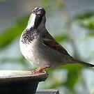 Sparrow - Waiter, my bowl is EMPTY.......!!! by Roy  Massicks