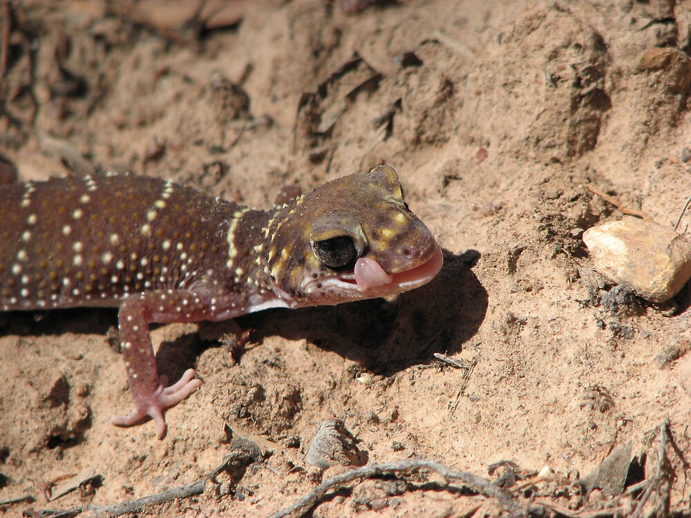 Barking Gecko by Dave Fleming