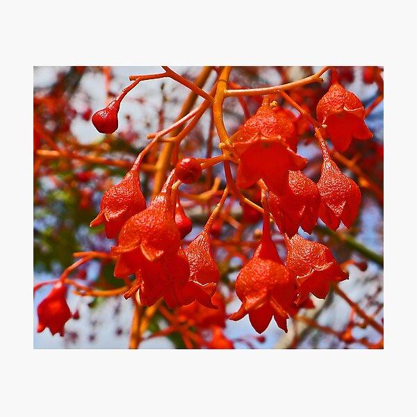 Illawarra Flame Tree Flowers Photographic Print