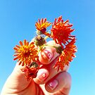Hawkweed flower, orange color, blue sky by Arve Bettum