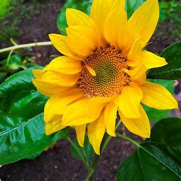 Moist sunflower by ArveBettum