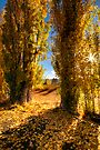 Golden Poplars by Robert Mullner