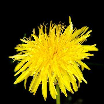 Sunny dandelion by ArveBettum
