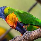 Rainbow Lorikeet by Peter Rattigan