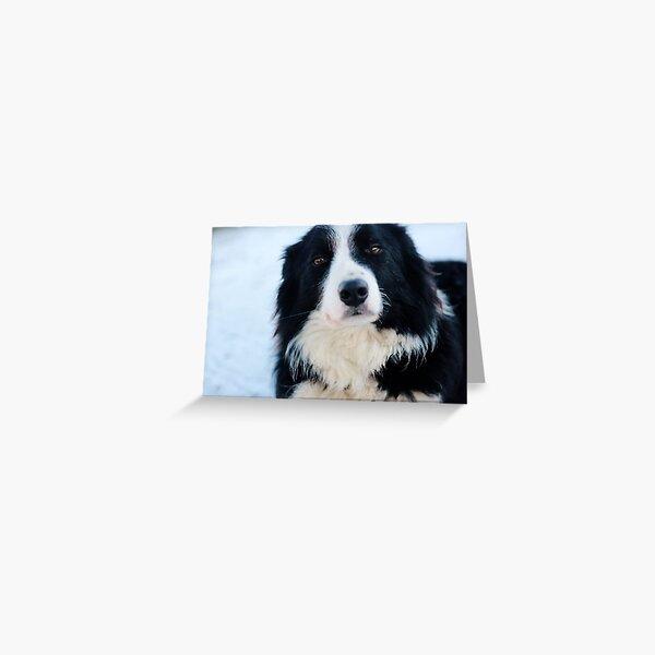 Teddy, Border Collie Greeting Card