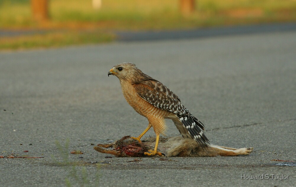 RED-SHOULDERED HAWK WITH PREY by Howard S Taylor