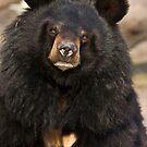 Asian Black Bear by Dominika Aniola