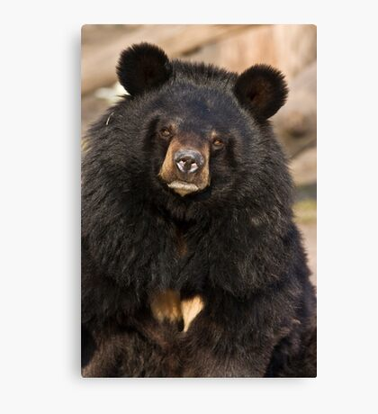 Asian Black Bear Canvas Print