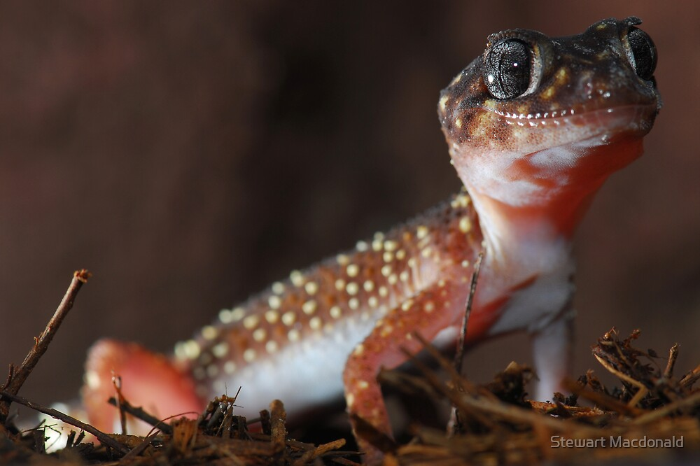 Thick-tailed gecko by Stewart Macdonald