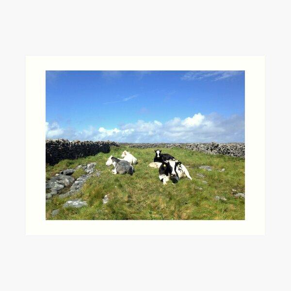 Cows on Inisheer Art Print