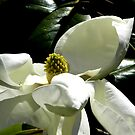 Magnolia Bloom       ^ by ctheworld