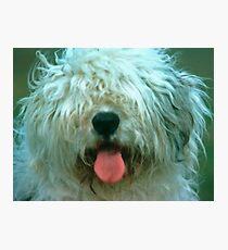 Shaggy Old English Sheep Dog Photographic Print