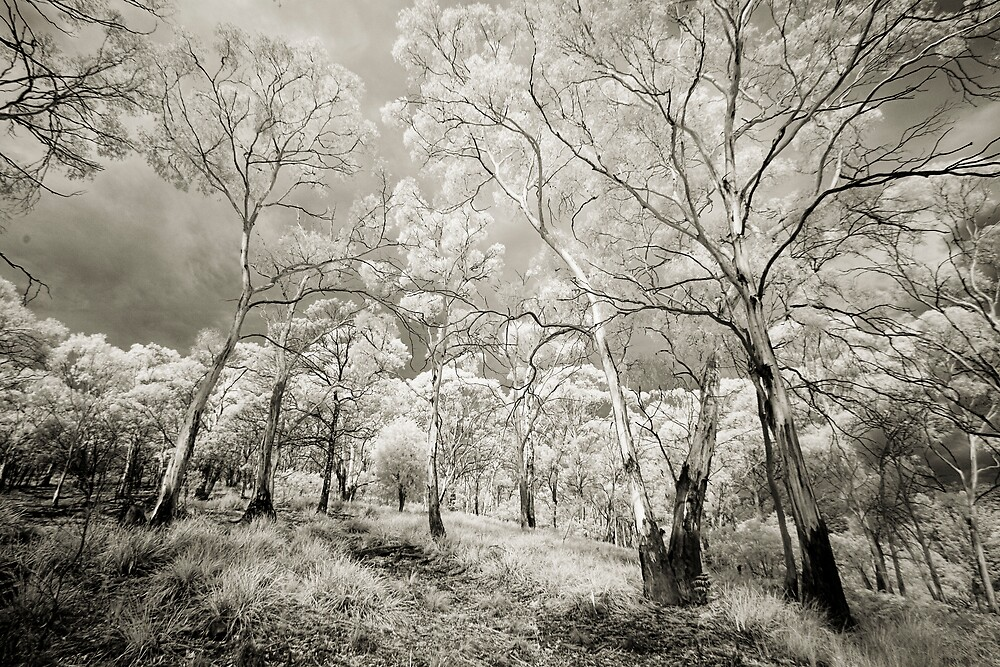 Eucalypts by Mike Calder