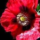 Red Opium Poppy by jsmusic