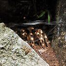 Acanthoscurria geniculata by Cristina C.p.Neumann