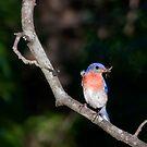 Blue Bird  by Jerry  Mumma