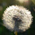 Dandelion - Dandy Lighting by scenicvibephoto