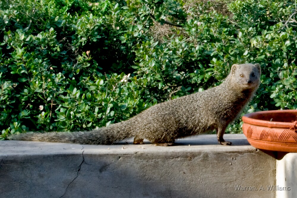 Mongoose by Warren. A. Williams