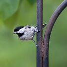 Chickadee by Jerry  Mumma