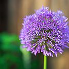 Allium Glow by Tracy Riddell