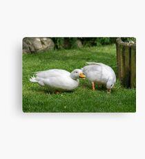 Two - White Callduck / Call Duck  Canvas Print