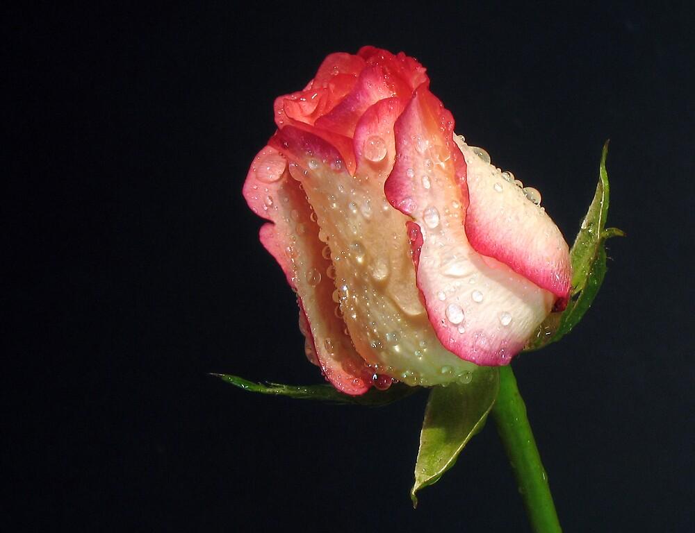 Flower  by Ali Al-Tamimi