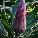 African Protea Leith Park Victoria 20170512 0422  by Fred Mitchell