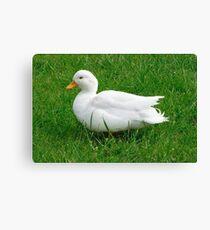 white male callduck / call duck Canvas Print