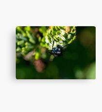 Bluebottle fly on leaf with green background Canvas Print
